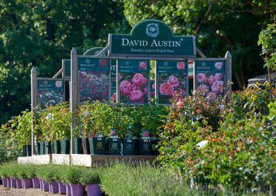 Budai Kertcentrum David Austin rózsák