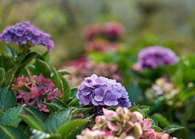 Hortenzia 'Multicolor'