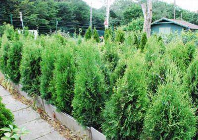 budai-kertcentrum-kerteszet-korseta4