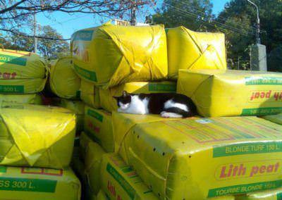 Gizi cica