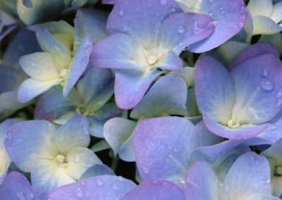 hydrangea-blue-violet-with-water-droplets-on-1375030