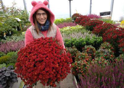 Budai Kertcentrum kertészet krizantém újdonságaink