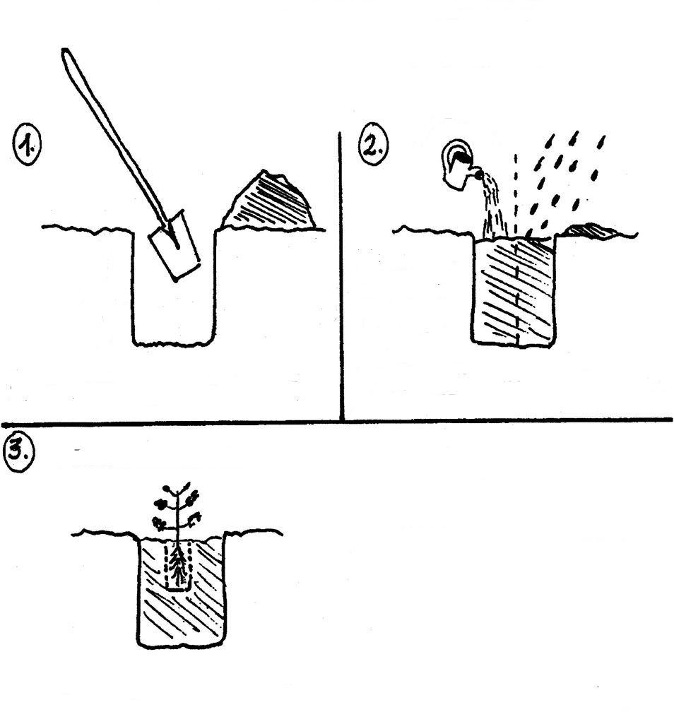 Hortenziamánia - ültetés