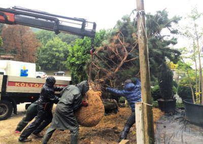 Budai Kertcentrum kamion daru Pinus nigra, Feketefenyő