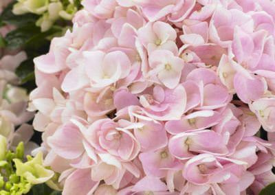 Hortenzia Hydrangea macrophylla 'Soft Pink Salsa'