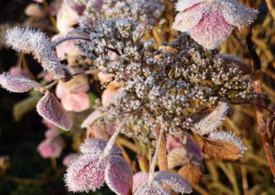 frosted-hydrangea-1345773