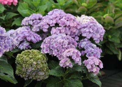lila hortenzia