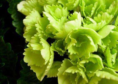 Hydrangea macrophylla (Hortensia) - Vert pomme