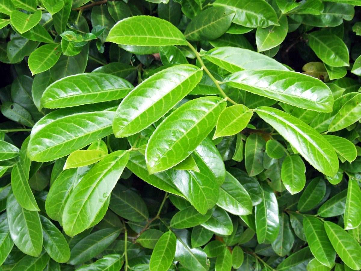 Babérmeggy az örökzöld sövény növény