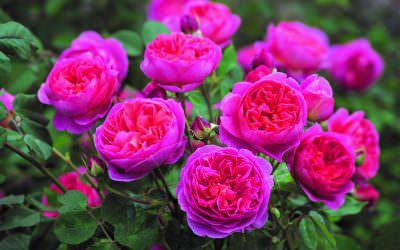 A legszebb ajándék nőnapra, a téli fagyokig virágzó rózsa