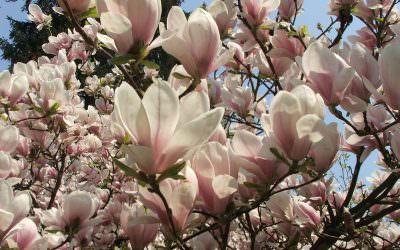 A tavasz első hírnöke, a magnolia