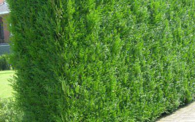 A Leylandi ciprus – széles körben használt pikkelylevelű örökzöld sövény