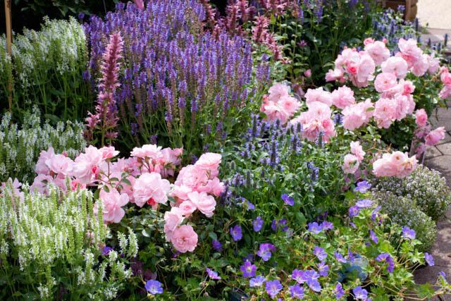 A rózsa társnövényei