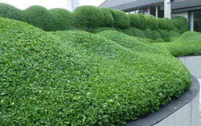 Buxus helyett: Örökzöld mirtuszlonc