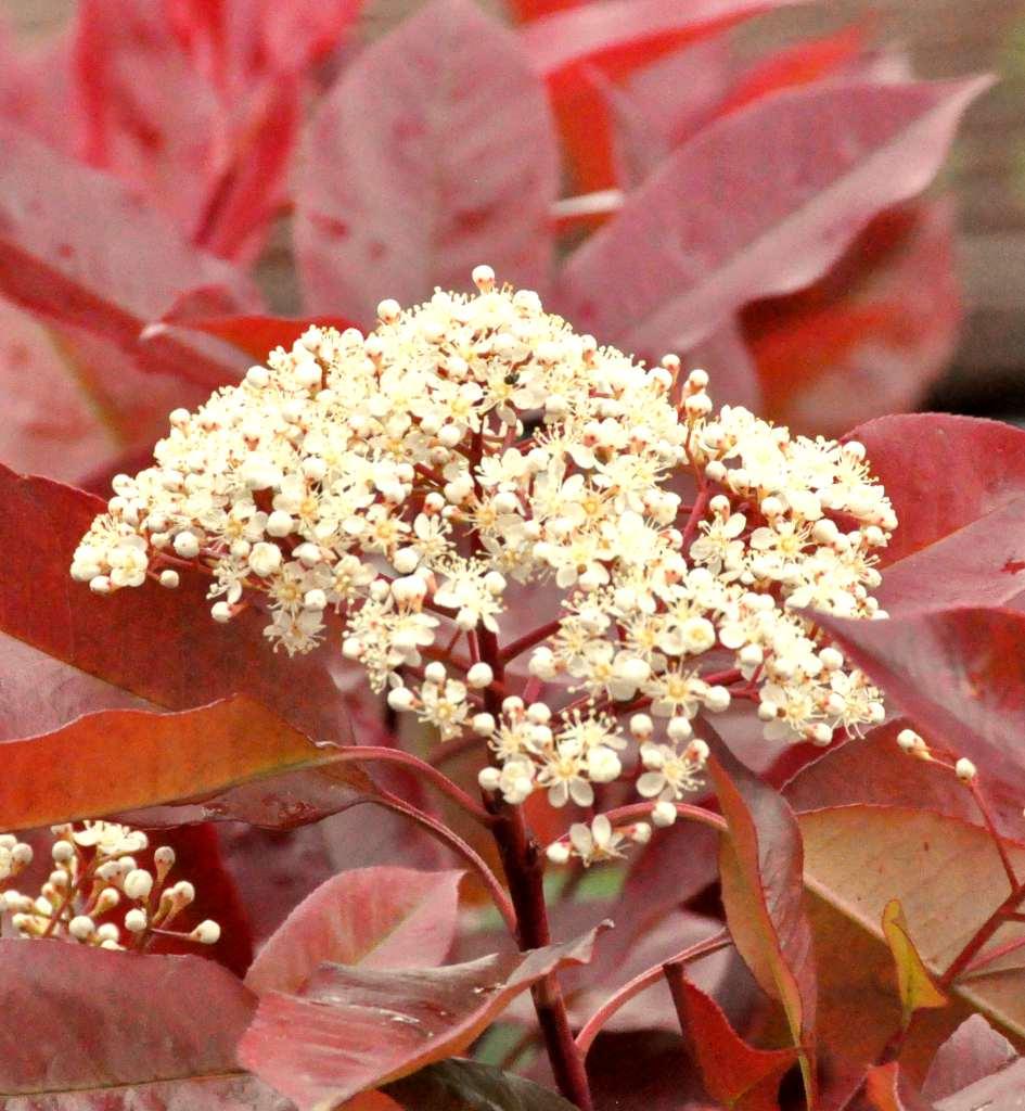 korallberkenye virág