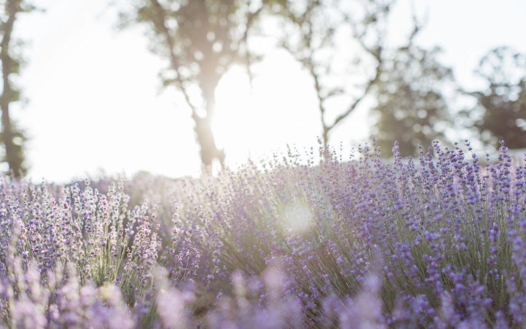 A levendula ültetése, gondozása, metszése és termesztése