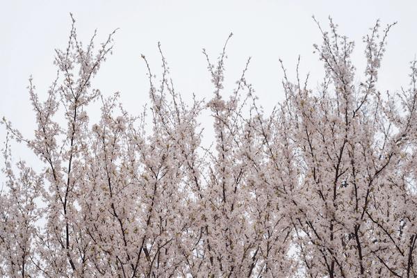 japán cseresznyefa ár