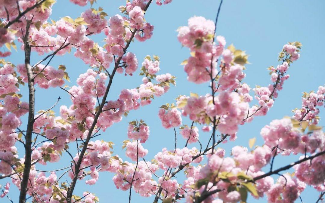 Japán díszcseresznye (Prunus serrulata) — Minden egy helyen