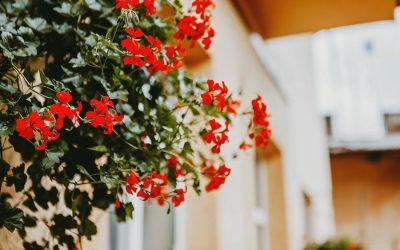 Muskátli: Gondozása, ültetése, öntözése és vásárlása