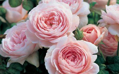 David Austin rózsa: Az egyik legnépszerűbb angol rózsa
