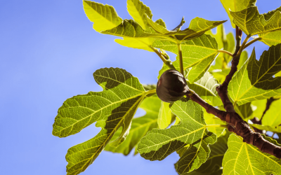 Közönséges füge: A fügefa csemete ültetése, metszése, ára