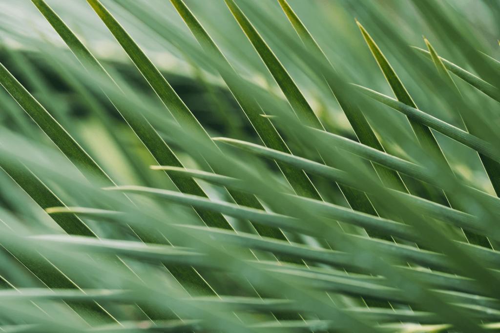pálmafélék