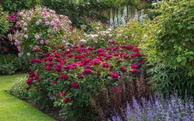 A rózsa ültetése, gondozása és legnépszerűbb fajtái