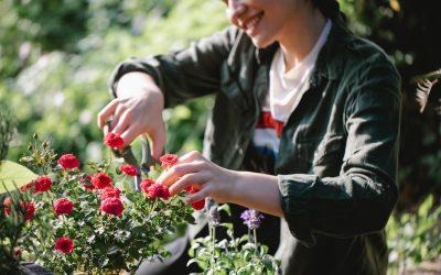 Rózsa metszése: Metszési idő, tavaszi és őszi metszés menete